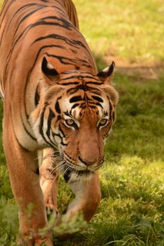 Tiger Close Up - image #201703 gratis