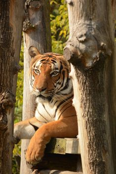 Tiger Close Up - image gratuit #201713