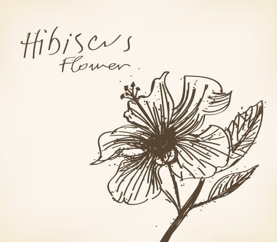 Hibiscus Flower Drawing - Free vector #214253