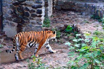 Tiger - Free image #229373