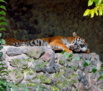 Tiger - Free image #229383