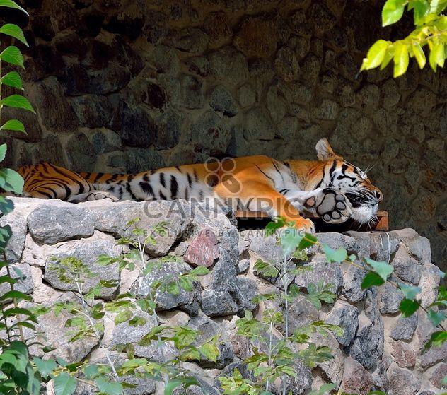 Tigre - Free image #229383