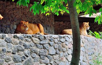 Lionesses on a rock - image #229413 gratis