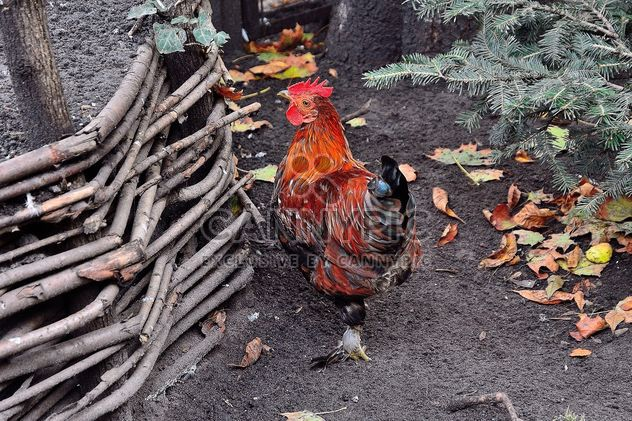 Hen in a farmyard - Free image #229433