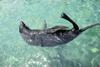 Seal swimming - Free image #229473