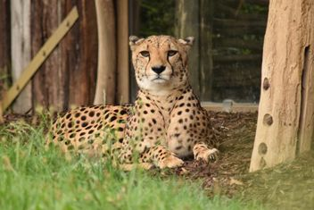 Cheetah on green grass - image #229483 gratis