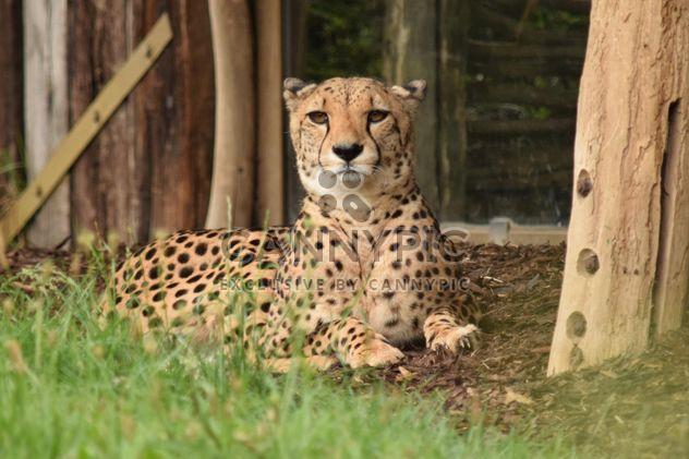 Cheetah on green grass - Free image #229483