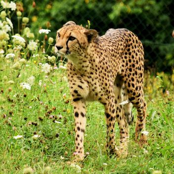 Cheetah on green grass - image #229493 gratis