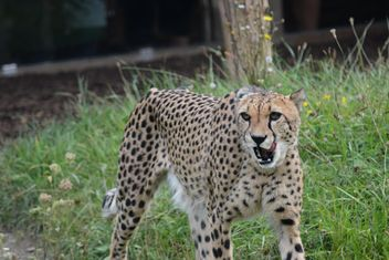 Cheetah on green grass - image gratuit #229503