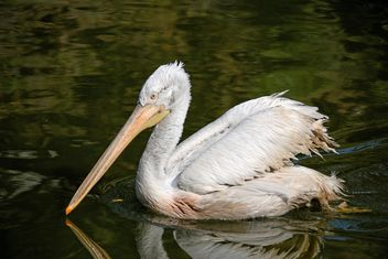 Pelican in a pond - Free image #229513