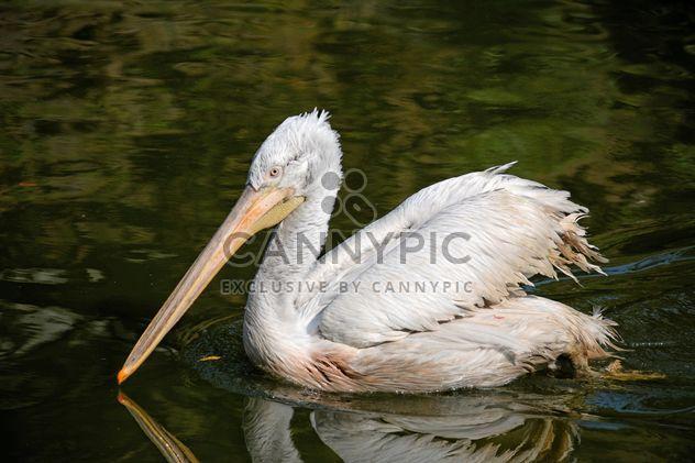 Pelicano em uma lagoa - Free image #229513