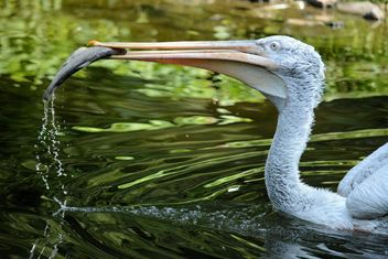 Pelican eating fish - Free image #229523