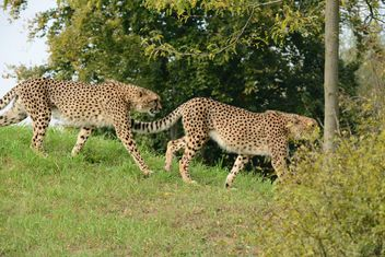 Cheetahs on green grass - image #229533 gratis