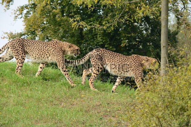 Cheetahs on green grass - Free image #229533