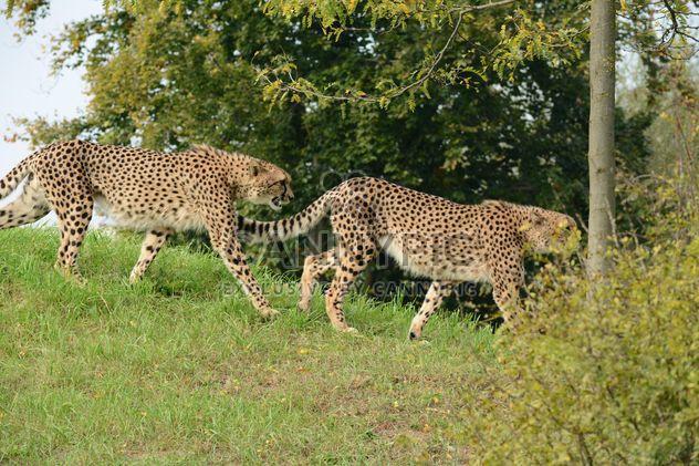 Гепарды на зеленой траве - бесплатный image #229533