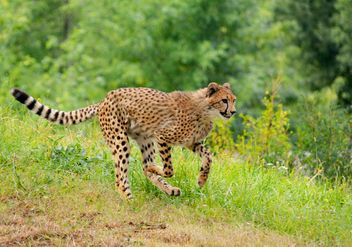 Cheetah on green grass - image #229543 gratis