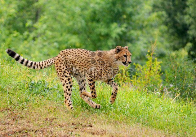 Guepardo en la hierba verde - image #229543 gratis