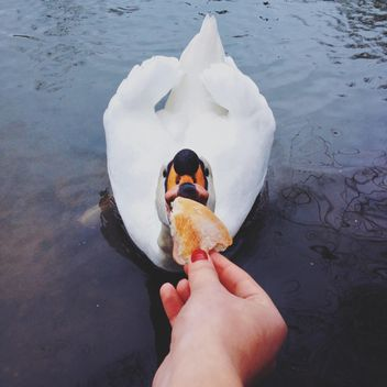 Swan eating bread out of hand - image #271663 gratis