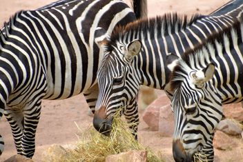 Zebra in the zoo - image #271993 gratis