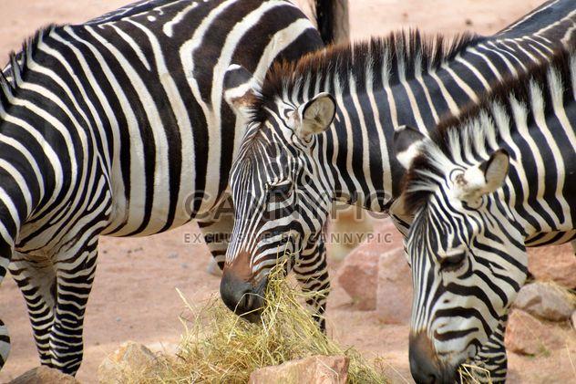 Zebra no jardim zoológico - Free image #271993