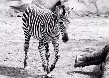 Zebra in the zoo - image #272003 gratis