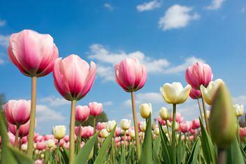 Pink tulips - image #272913 gratis