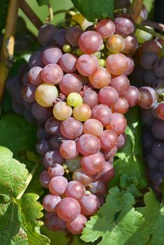 Organic Grapes - image gratuit(e) #272923