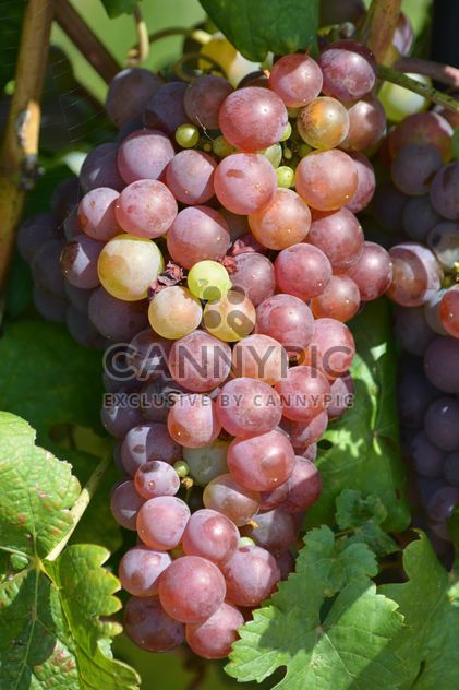 Organic Grapes - Free image #272923