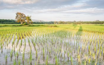 Rice fields - image #272953 gratis