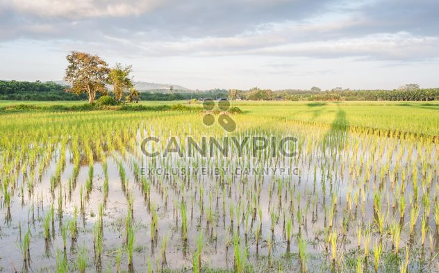 Rice fields - Free image #272953