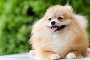 Pomeranian Dog - бесплатный image #272973