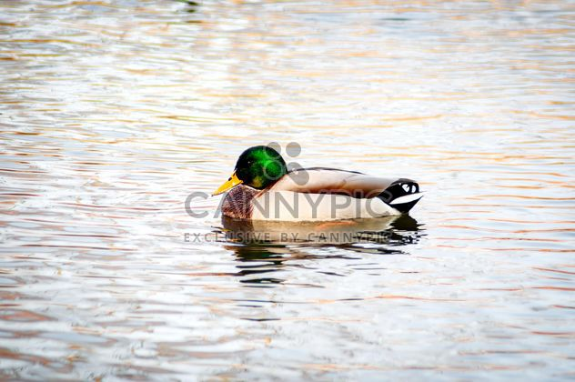 Wild duck on the water - Free image #273183