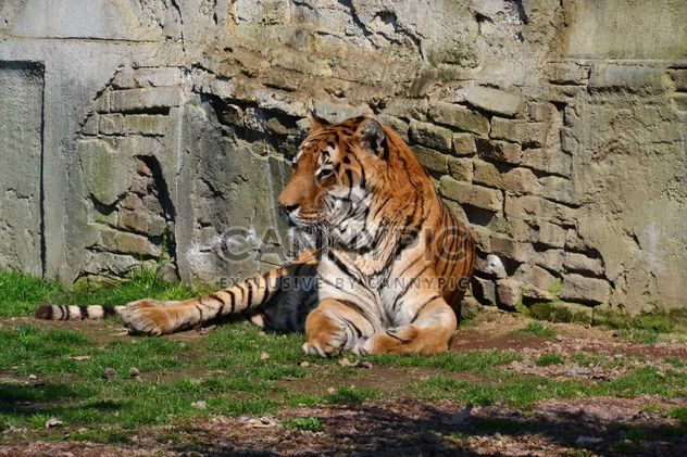 Tigre - image gratuit(e) #273613
