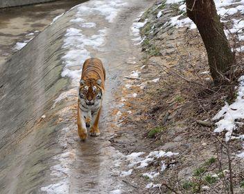Ussuri tiger - image #273623 gratis