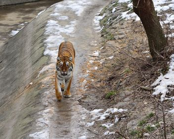 Ussuri tiger - Free image #273623