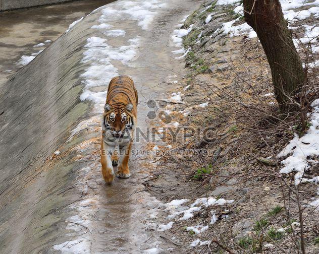 Tigre de l'Oussouri - image gratuit #273623