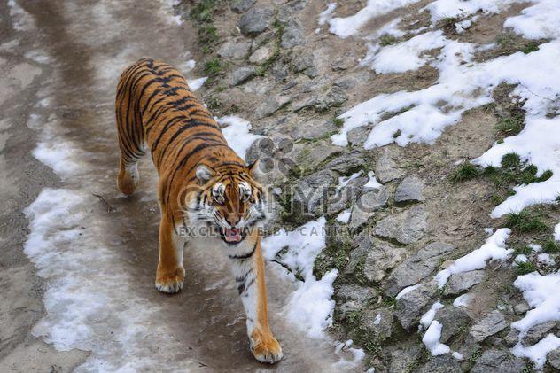 Tigre de l'Oussouri - image gratuit #273633