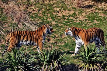 Tigers in Park - image #273653 gratis