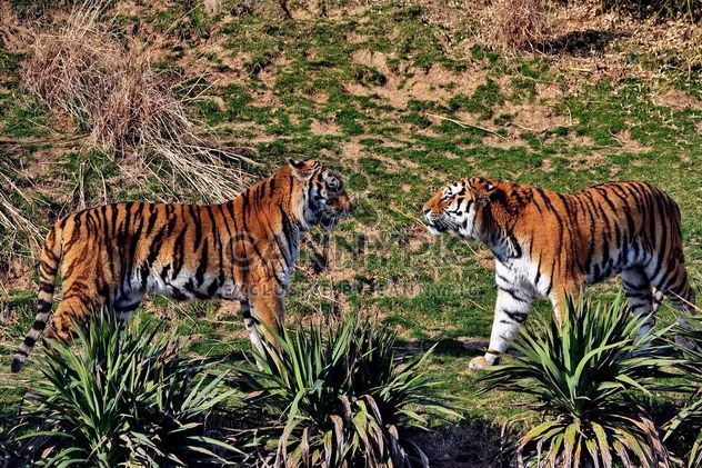 Tigers in Park - Free image #273653