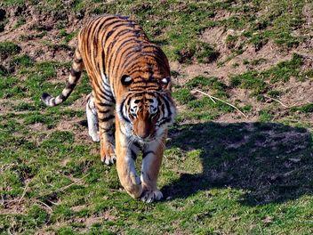 Tiger - image gratuit #273663