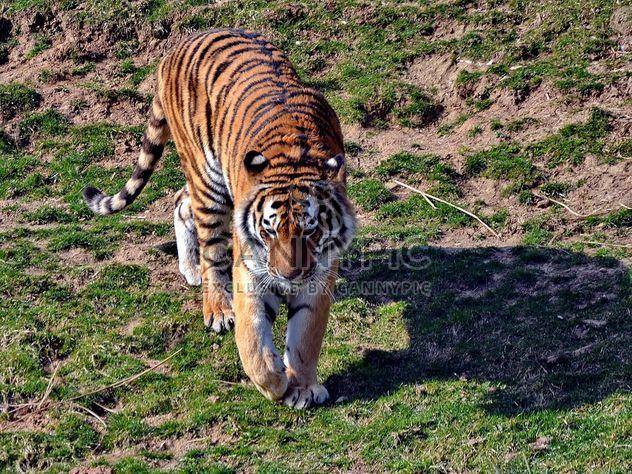 Tigre - Free image #273663