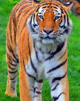 Tiger - Free image #273693