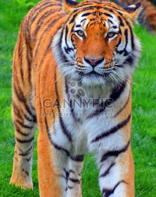 Тигр - бесплатный image #273693