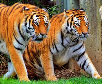 Tigers - Kostenloses image #273723