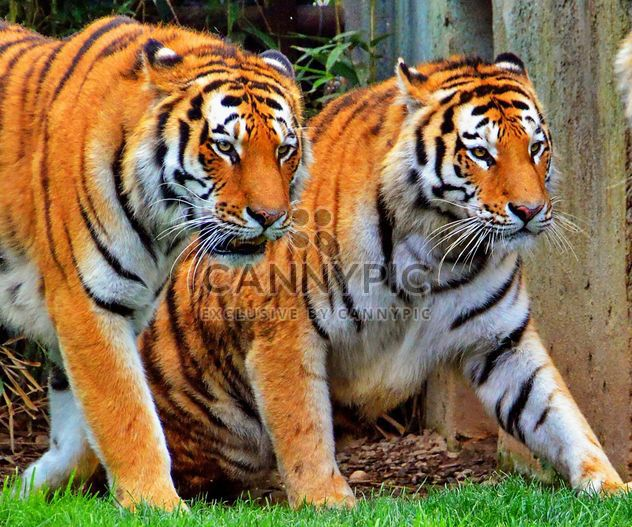 Tigers - Free image #273723