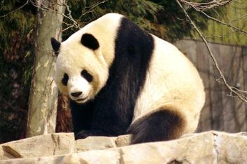 Giant Panda - image gratuit #275363