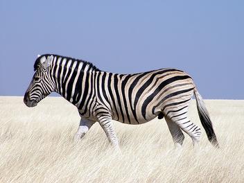 Zebra, Etosha National Park - image gratuit #275483