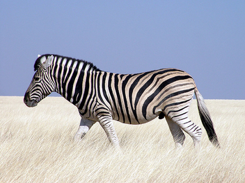 Zebra, Etosha National Park - image #275483 gratis