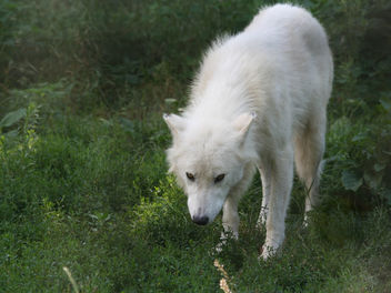Leering Arctic Wolf - Free image #275633