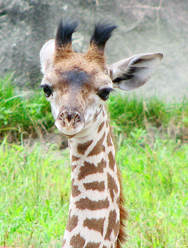 Baby giraffe - image #275653 gratis